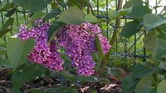 my first syringa in my garden ever!