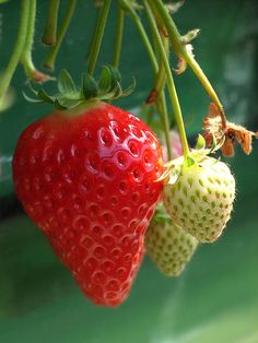 growing strawberries...picking early spring to late fall