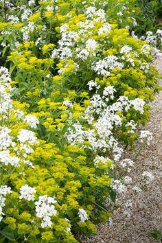 Hesperis 'White' with Euphorbia Oblongata