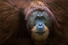 Trip Report: Trekking with Sumatran Orangutans in Indonesia | Outdoor Photography Guide  #OutdoorPhotographyGuide