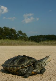 Carolina Diamondback Terrapin   Flickr - Photo Sharing!
