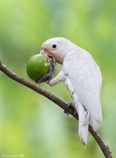 Goffin's cockatoo (Cacatua goffiniana)