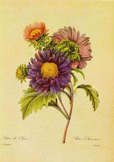 Aster. Callistephus chinensis Chinese Aster Redouté Botanical Illustration by SurrendrDorothy, via Flickr