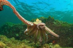 Octopuses can break one of their arms off on purpose, and with seven remaining, it shouldn't be a great loss, especially since the lost arm grows back in weeks.