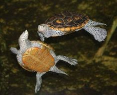 CITES Record Number of Tortoises and Freshwater Turtles on the Agenda Reptiles And Amphibians, Mammals, Freshwater Turtles, Aquatic Turtles, Tortoise Turtle, Terrapin, Post Animal, Turtle Love, Tortoises