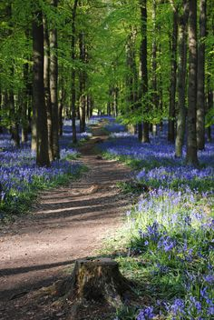 bluebells along the path through an english wood #nature #photography