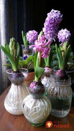 Hyacinth in bloom. Coersed, not forced, bulbs. Hyacinth in bloom. Coersed, not forced, bulbs. Garden Bulbs, Planting Bulbs, Garden Plants, House Plants, Planting Flowers, Terrarium Plants, Veg Garden, Easy Garden, Garden Tips