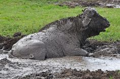Water Buffalo having a mud bath - MYPIC - Charles Kaplan Picture Viewer/Slideshow