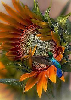 Hummingbird and sunflower Photo credit by John Kolenberg