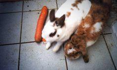 Kaninchenfan Lucky - Mein Kaninchenloch: What an big carrot. Nearly as long as Snow ^_~   #bunnies #rabbits #kaninchen #hasen #lapin #usagi #zwergkaninchen  http://kaninchenfanlucky-meinkaninchenloch.blogspot.de/2014/03/what-big-carot-nearly-as-long-as-snow.html