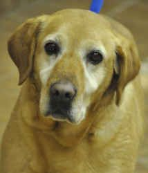 Babes is an adoptable Yellow Labrador Retriever Dog in Martinsburg, WV. Babes was given up by her owner along with 'Jenna', a female Redbone Coonhound, because he could not afford to care for them. Th...