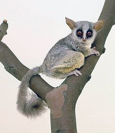 """Galagos, also known as bushbabies, bush babies or nagapies (meaning """"little night monkeys"""" in Afrikaans), are small, nocturnal primates native to continental Africa, and make up the family Galagidae (also sometimes called Galagonidae)."""