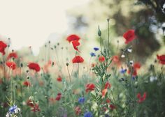 'for the love of poppies' fine art nature photograph by alicegaophotography on etsy - so pretty :)