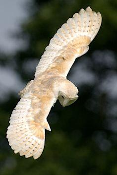 Barn owl in flight.