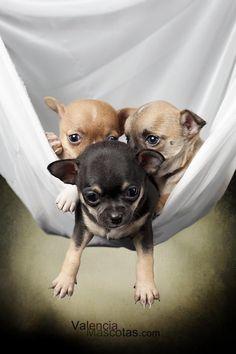 Chihuahua Puppies.. #chihuahua Puppies...