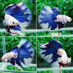 fwbettashm1514511609 - HM BLUE WHITE MONTER / seller: Ake_betta