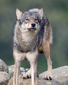 Canadian Coastal wolf, Vancouver Island, BC by Max Waugh