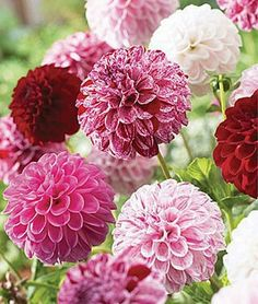 Dahlias  Sun  Full Sun  Height  30-36 inches Spread  14-18 inches  Ornamental Use Beds, Container, Cut Flowers, Thriller Life Cycle  Annual  Sow Method  Direct Sow
