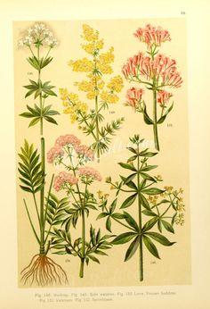 rubia tinctorum, asperula odorata, galium verum, centranthus ruber, valeriana officinalis   ...