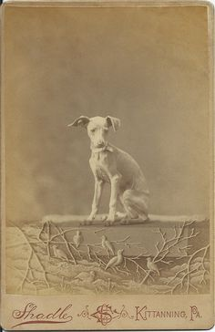 """1889 cabinet card of a puppy named Fairy. On verso written in dipped ink: """"Fairy"""" 7 mo. old. 1889. Photo by Shadle's Photographic Studio, 219 Market St., Kittanning, PA. From bendale collection"""