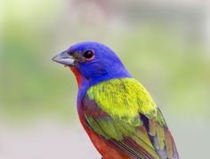 painted bunting (photo by gary Bunting Bird, Painted Bunting, Buntings, Birds 2, Bird Feathers, Beautiful Birds, State Parks, Wildlife, Colours