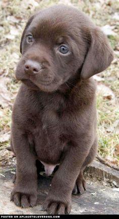 Cachorro de labrador color chocolate, lab chocolate puppy♥