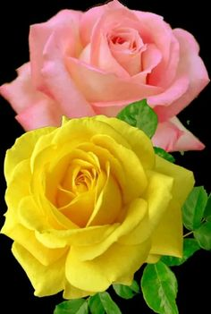 Fantastic Snap Shots Hybrid Tea Roses tropicana Thoughts Hybrid tea would be the earliest gang of roses classified as modern-day back garden roses. People were create