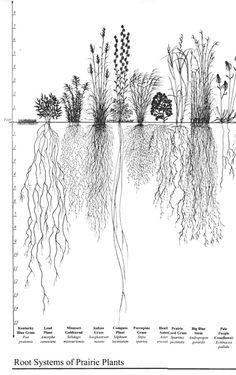 Fabulous botanical illustration - root systems of prairie plants Illustration Botanique, Plant Illustration, Botanical Drawings, Botanical Prints, Roots Drawing, Prairie Planting, Plant Tattoo, Root System, Native Plants
