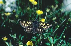 The Forestry comission are runing an open day on Saturday 22 May. Sessions are at 10am and 2pm at Allt Mhuic Butterfly reserve on the shore of Loch Arkaig, Led by butterfly experts and our own environment staff. Activities for adults and children looking at the wildlife we can find - specifically the Chequered Skipper, ......a butterfly only found in a 25 mile radius of Fort William. Other animals we will look out for are other butterflies and moths, birds small and large, as well as our own…
