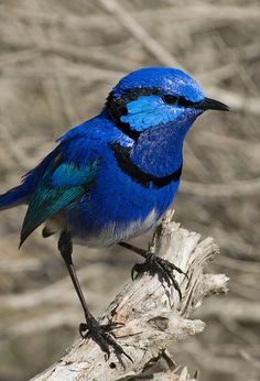 **Splendid Fairy-wren Whiteman res by John Anderson Pretty Birds, Love Birds, Beautiful Birds, Animals Beautiful, Cute Animals, Small Birds, Colorful Birds, Bird Pictures, Animal Pictures