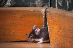 Combine IPM program with a few of these #DIY deterrents and repellents, and you can come up with a successful comprehensive plan to get rid of mice naturally... #PoisonFree #Mice #naturally #diy