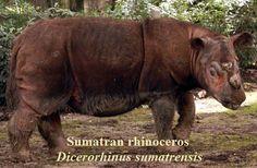 http://wolvesonceroamed.files.wordpress.com/2012/09/sumatran-rhino.jpg
