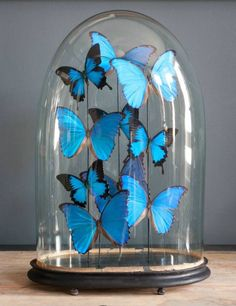 Large blue & black butterfly dome from Alex McArthur Cloche Decor, Butterfly Taxidermy, The Bell Jar, Bell Jars, Butterfly Frame, Idee Diy, Plant Design, Glass Domes, Beautiful Butterflies