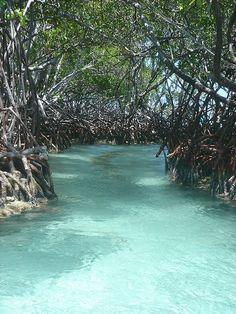 Manglares (Mangroves), Isla de Vieques, Puerto Rico (off of Mosquito Bay, or Bioluminescent Bay) by fotosdejuan