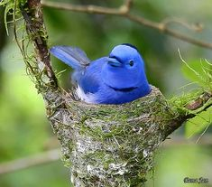 Black-naped monarch on nest. Beautiful Birds, Beautiful Pictures, Paradise Pictures, Lakshmi Images, Bird Gif, Gif Pictures, Flowers Nature, Bird Feathers, Blue Bird