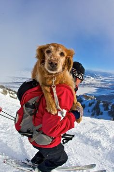 Lucky the golden with Jake Elkin, an avalanche rescue worker in Jackson Hole, WY.