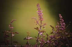 Tulsi / Basil Flower