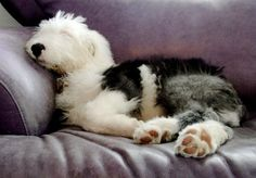Bowie the Old English Sheepdog