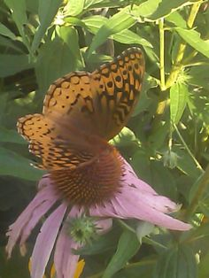 Great Spangled Fritillary showing its upperwing-            nectaring on a coneflower .......in Diann's garden in Pontotoc,Ms.