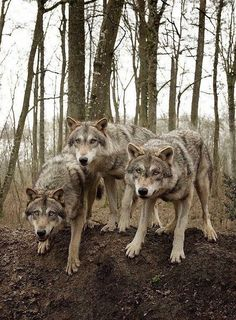 •✧ want to see more pins like this? then follow pinterest: @morgangretaaa ✧• Wolf Images, Wolf Photos, Wolf Pictures, Nature Photos, Beautiful Wolves, Animals Beautiful, Nature Animals, Animals And Pets, Pets
