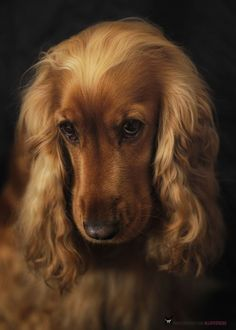 Irish Setter or Cocker Spaniel to love and care for until death do us part ✿⊱╮