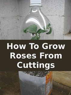 How to grow Roses from rose clippings.