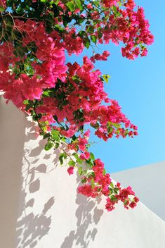 Bougainvillea Spectabilis On The Wall Stock Photo - Image of white, outdoors: 7117574 Bougainvillea Spectabilis On The Wall Stock Photo - Image of white, outdoors: 7117574 Bougainvillea spectabilis on the wall. Bougainvillea spectabilis on the white wa , Beautiful Flowers Wallpapers, Beautiful Nature Wallpaper, Cute Wallpapers, Bougainvillea, Flower Phone Wallpaper, Summer Wallpaper, Cactus E Suculentas, Photo Images, Harry Styles Wallpaper