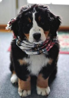 Just A Bernese Mountain Dog Puppy #BerneseMountainDog