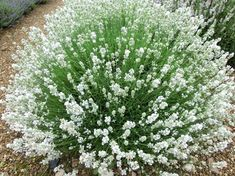 Arctic Snow Lavender for Sale Online – The Greenhouse Types Of Lavender Plants, Lavender Varieties, Lilac Flowers, Summer Flowers, Beautiful Flowers, White Gardens, Small Gardens, Growing Flowers, Planting Flowers