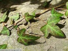 Břečťan popínavý Hedera helix Aralkovité