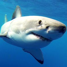 Shark Images, Shark Pictures, Shark Photos, Wild Creatures, Ocean Creatures, Orcas, Guadalupe Island, Save The Sharks, Types Of Sharks