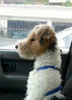 "Fox terrier wire ""Max"" #bestdog  #smartestdog"