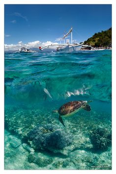 """Sea turtle, Apo Island, Philippines. BBC Boracay says: """" Some of the best dive sites in the world can be found in the Philippines."""""""