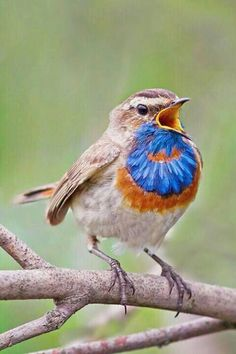 Blauwborst the Bluethroat bird, Luscinia svecica, is a migratory insectivorous species breeding in wet birch wood or bushy swamp in Europe and Asia with a foothold in western Alaska. It nests in tussocks or low in dense bushes. It winters in north Africa and the Indian Subcontinent.